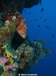 A coral grouper on Marsa Shagra Village house reef, Egypt... by Blaza Jovanovic 